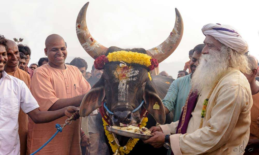 Prasadam for a splendid specimen of a bull