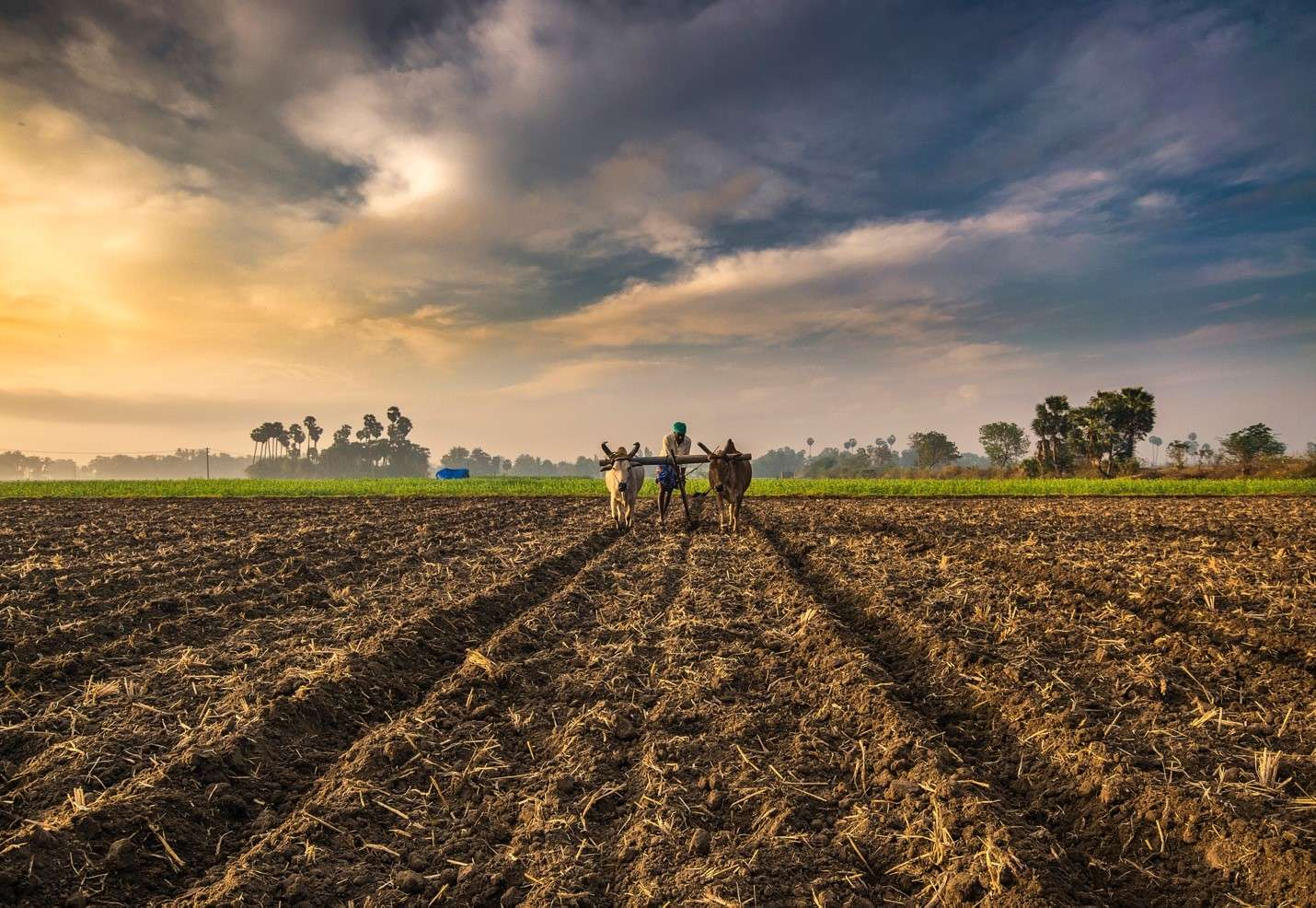 3-reasons-for-indias-water-crisis-farmer-with-cattle