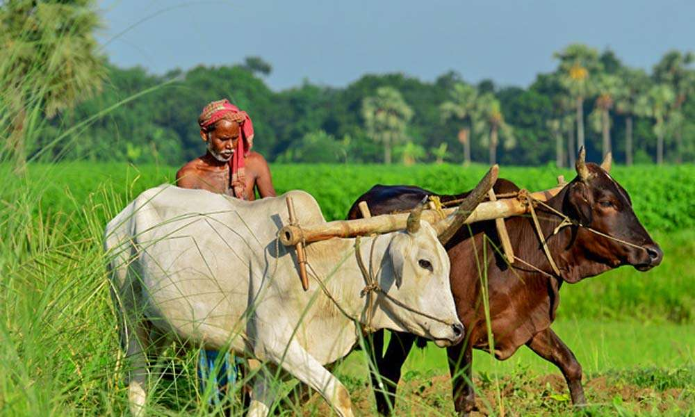Farmer ploughing with cows