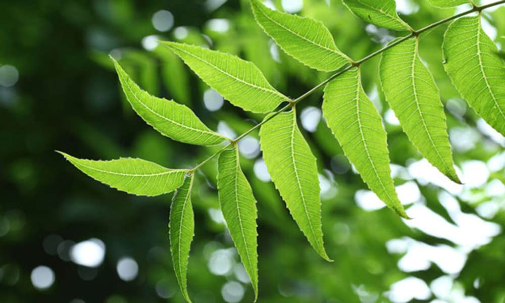The Benefits and Uses of Neem, the