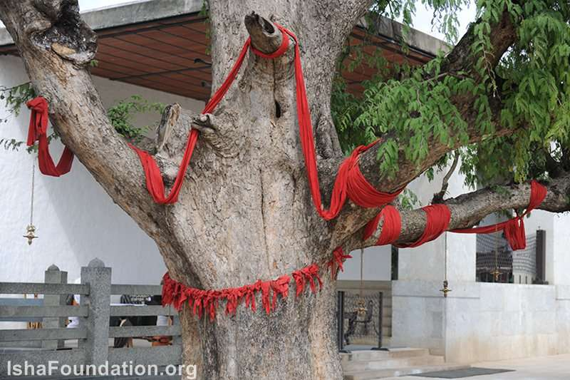Tamarind tree in front of Dhyanalinga