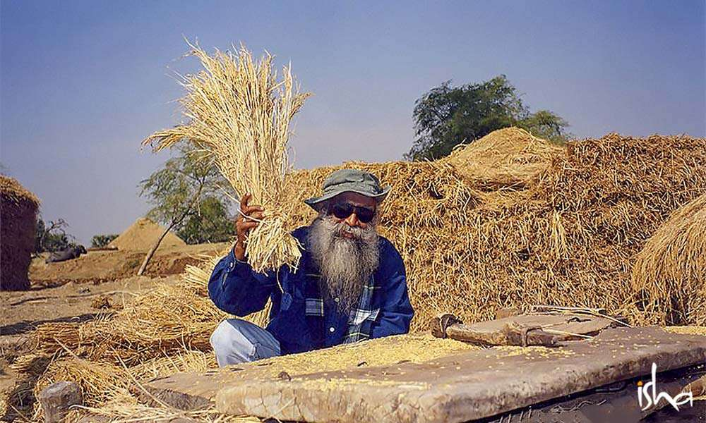 Sadhguru threshing wheat stalks | Agriculture Can Fuel the Next Economic Revolution