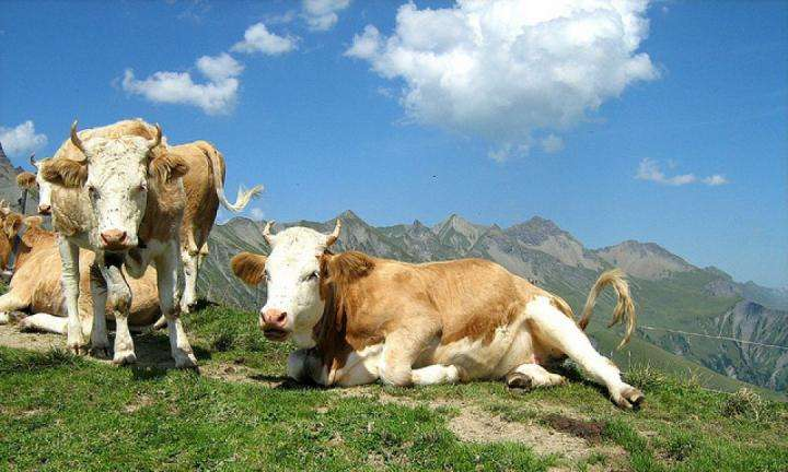 cow-the-life-nourisher