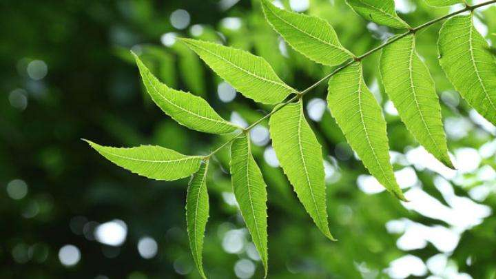 """The Benefits and Uses of Neem, the """"Wonder Leaf"""""""